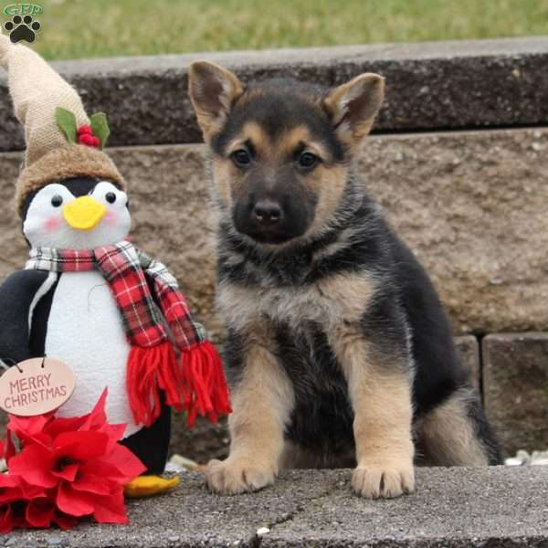 Uno, German Shepherd Puppy