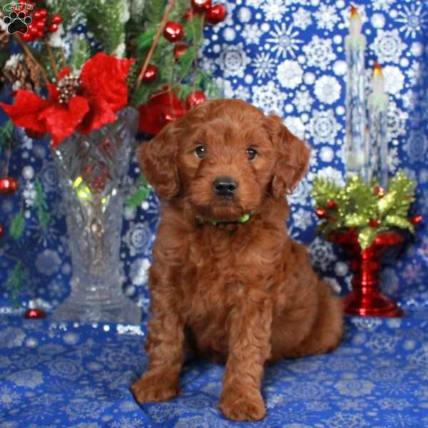 Vance – F1B, Mini Goldendoodle Puppy