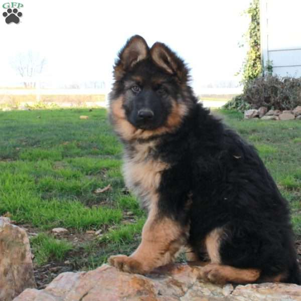 Vinny, German Shepherd Puppy