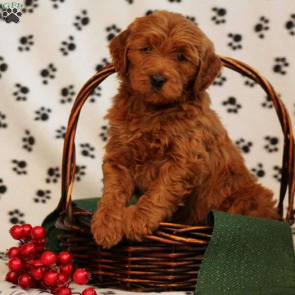 Warby, Mini Goldendoodle Puppy