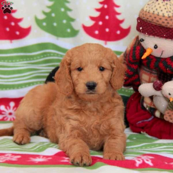 Welby, Mini Goldendoodle Puppy