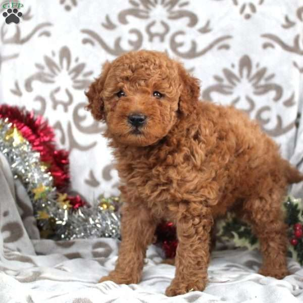 Weston, Mini Goldendoodle Puppy