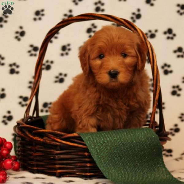 Whiskers, Mini Goldendoodle Puppy