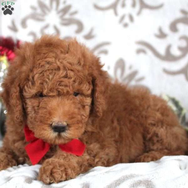 Whistle, Mini Goldendoodle Puppy