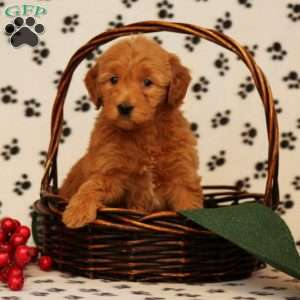 Whitney, Mini Goldendoodle Puppy