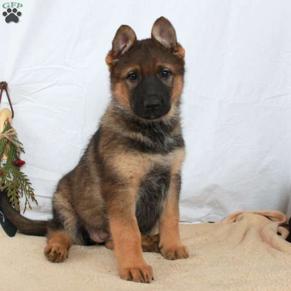 Willa, German Shepherd Puppy