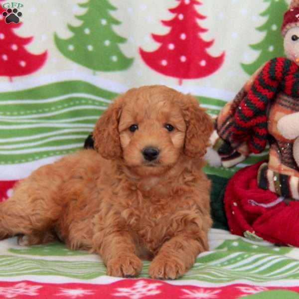 Willow, Mini Goldendoodle Puppy