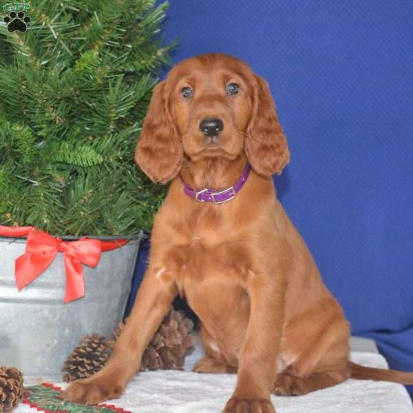 Willow, Irish Setter Puppy
