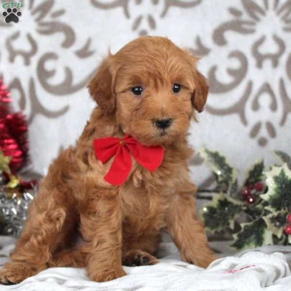 Wilma, Mini Goldendoodle Puppy