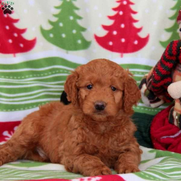 Winslow, Mini Goldendoodle Puppy