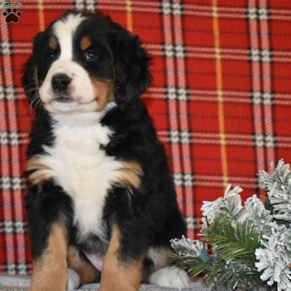 Winston Bernese Mountain Dog Puppy For Sale In Ohio