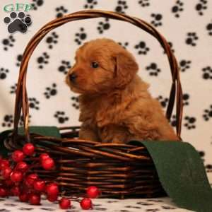 Winterberry, Mini Goldendoodle Puppy
