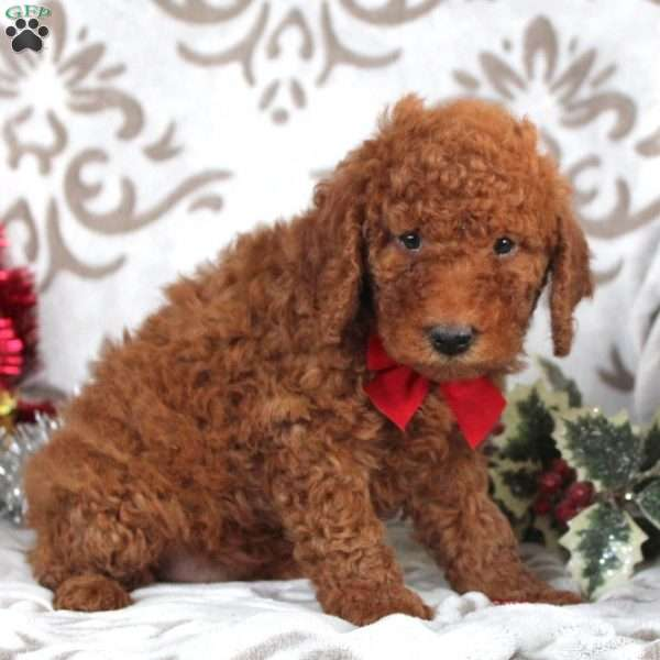 Wishes, Mini Goldendoodle Puppy