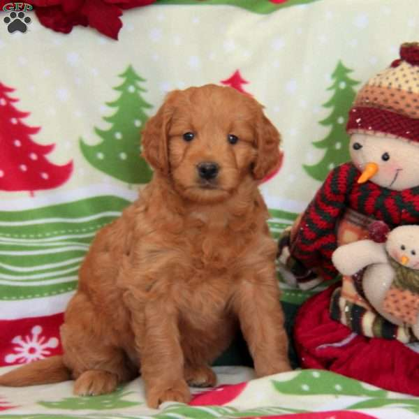 Woody, Mini Goldendoodle Puppy