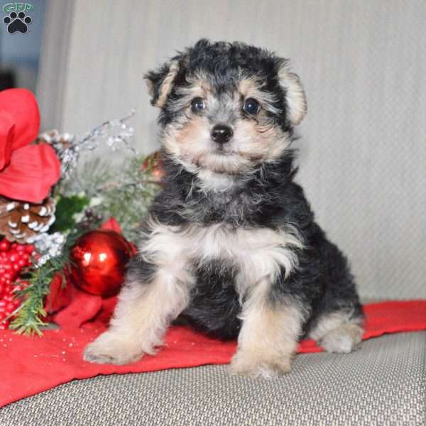 Zach Yorkie Poo Puppy For Sale In Ohio
