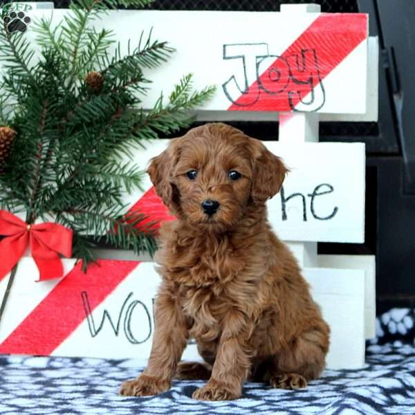 Zane, Mini Goldendoodle Puppy