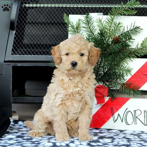Zarius, Mini Goldendoodle Puppy