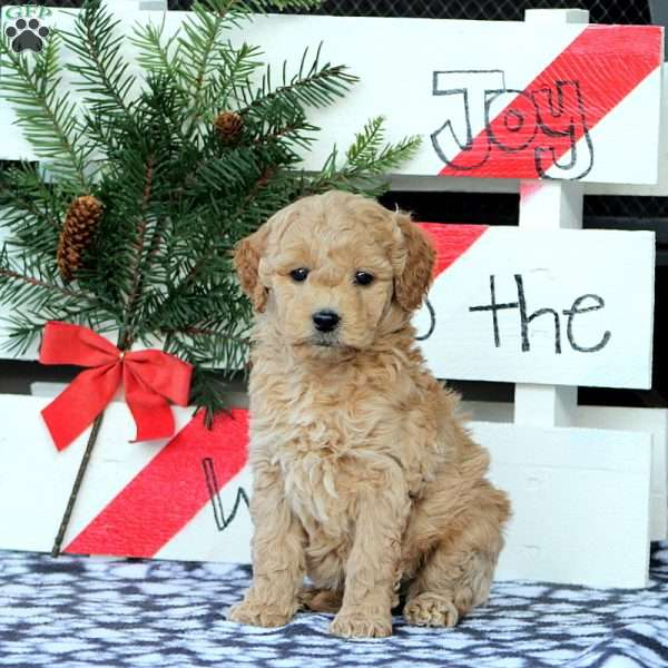 Zephora, Mini Goldendoodle Puppy