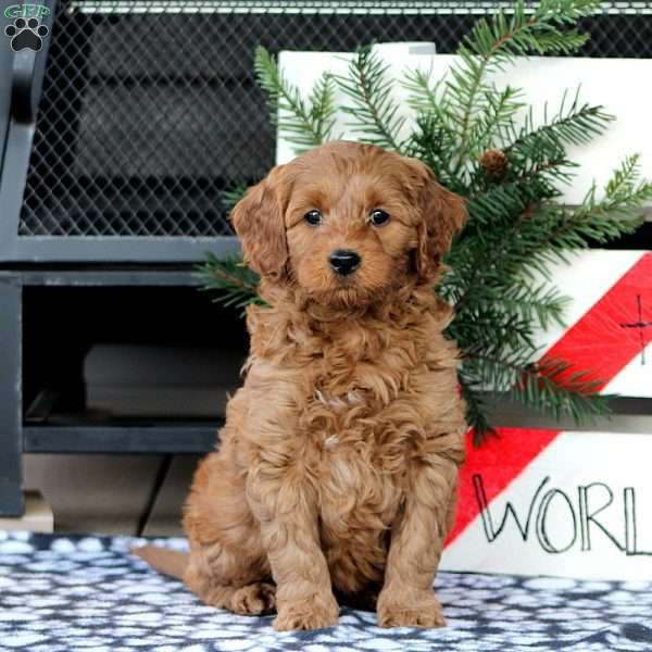 Zippy, Mini Goldendoodle Puppy