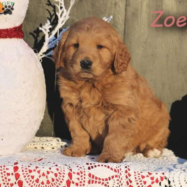 Zoey, Mini Goldendoodle Puppy