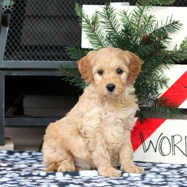 Zorro, Mini Goldendoodle Puppy