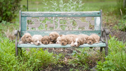 5 Things to Know About Cockapoo Puppies