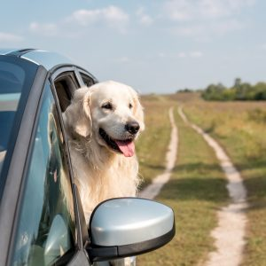 golden retriever looking out a car window in a field