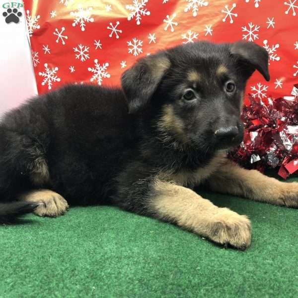 Grace, German Shepherd Puppy
