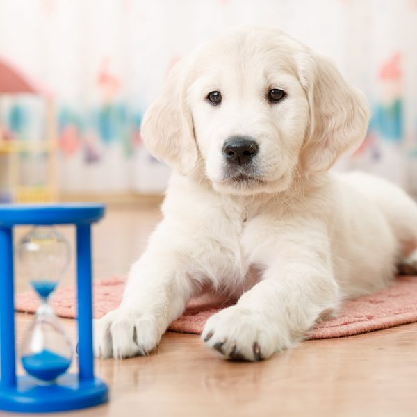 hourglass next to a golden retriever puppy