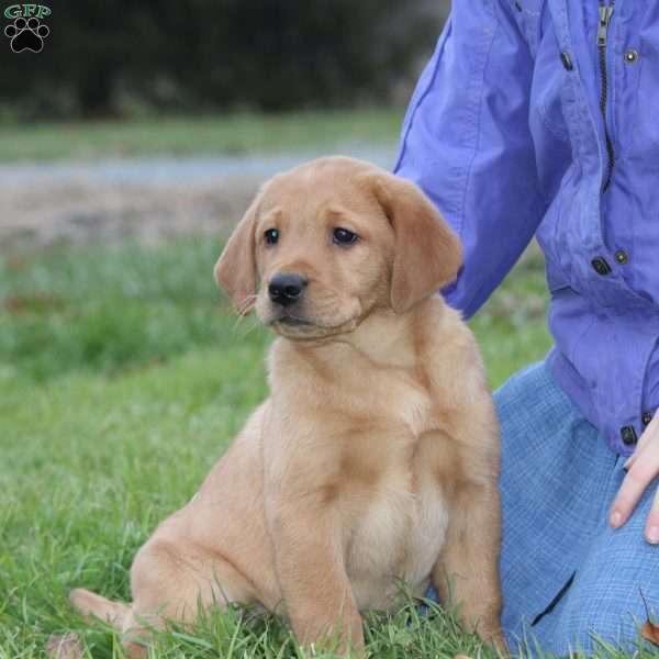 Reddy, Yellow Labrador Retriever Puppy