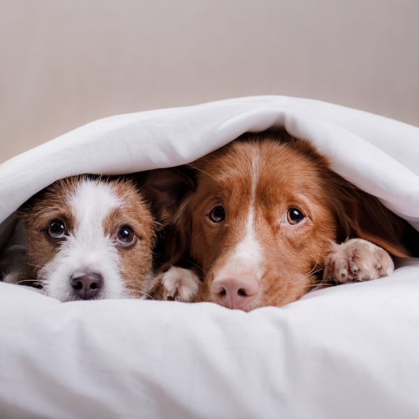 two small dogs on a bed huddled under a blanket