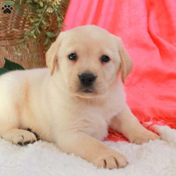 Abby, Yellow Labrador Retriever Puppy