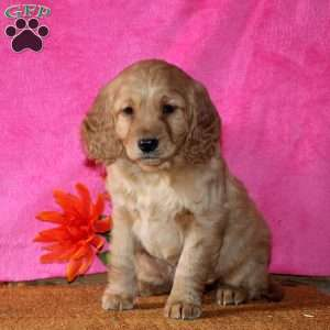 Abby, Mini Goldendoodle Puppy