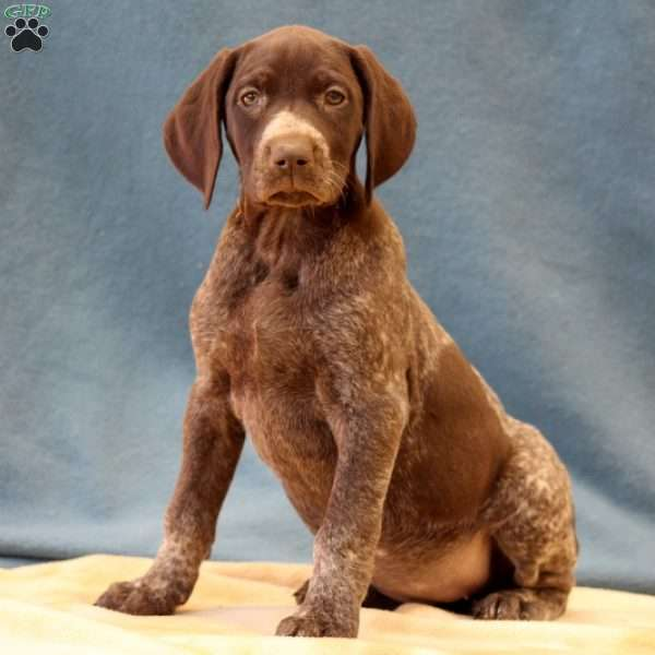 Acadia, German Shorthaired Pointer Puppy