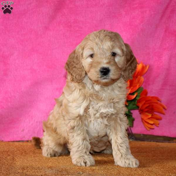 Allyson, Mini Goldendoodle Puppy