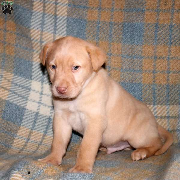 Andy, Yellow Labrador Retriever Puppy