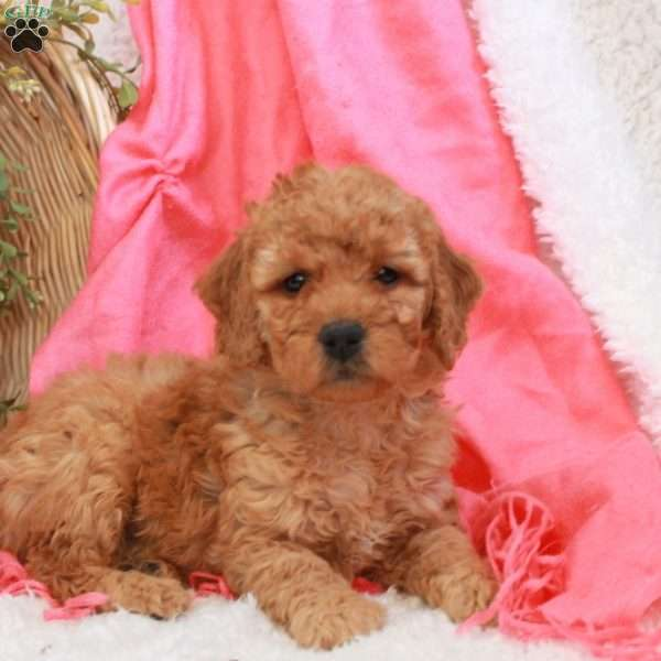 Baby, Mini Goldendoodle Puppy