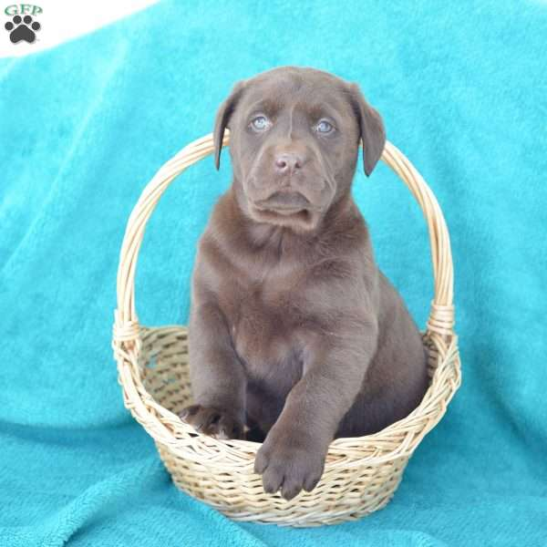 Baxter Chocolate Labrador Retriever Puppy For Sale In Ohio