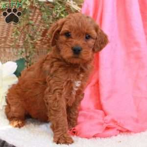 Beauty, Mini Goldendoodle Puppy