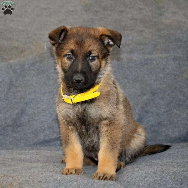 Becca, German Shepherd Puppy