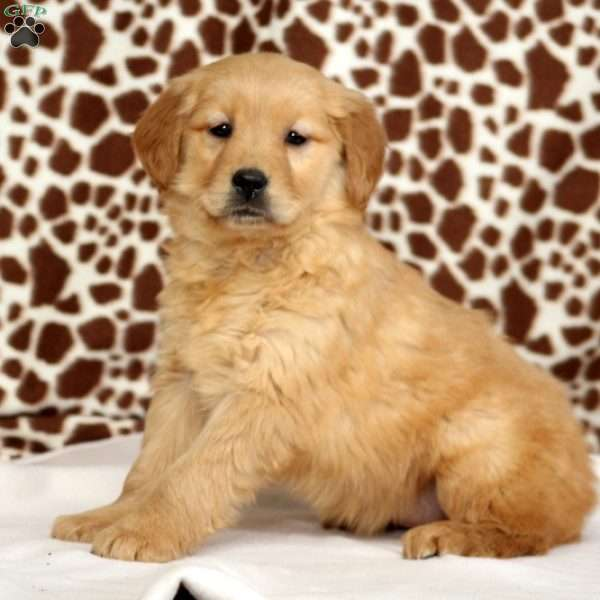 Becca, Golden Retriever Puppy