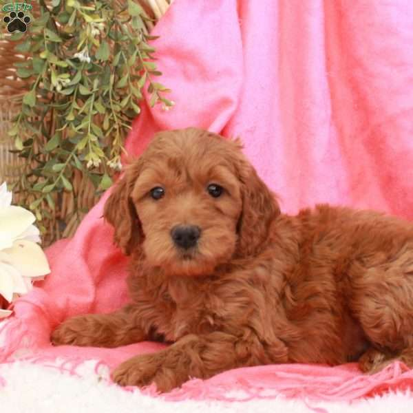 Betsy, Mini Goldendoodle Puppy