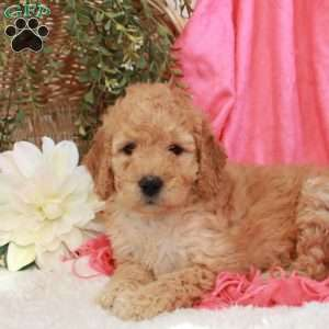 Bouncer, Mini Goldendoodle Puppy