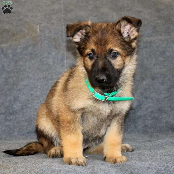 Brittany, German Shepherd Puppy