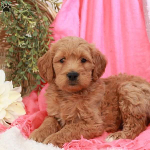 Brody, Mini Goldendoodle Puppy