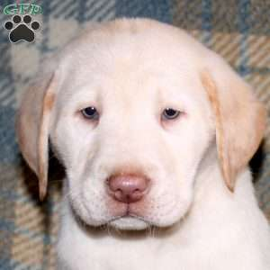 Brody, Yellow Labrador Retriever Puppy