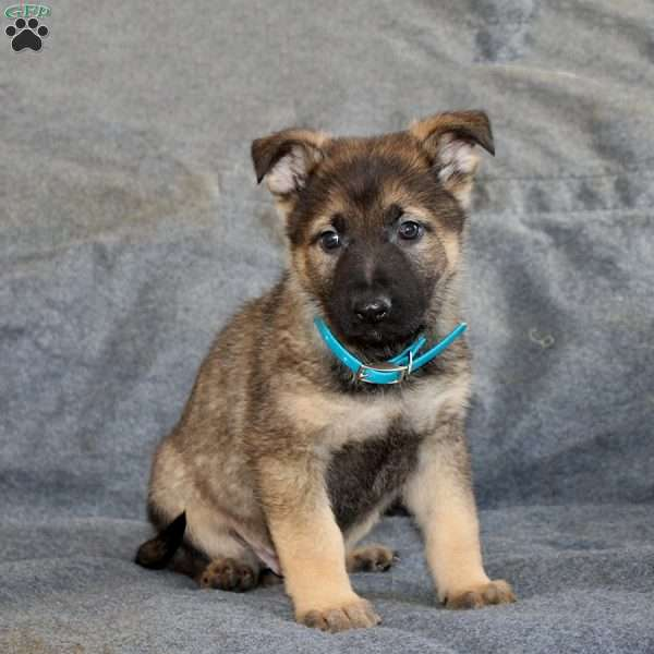 Buck, German Shepherd Puppy