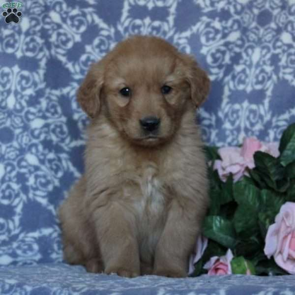 Candy, Golden Retriever Puppy