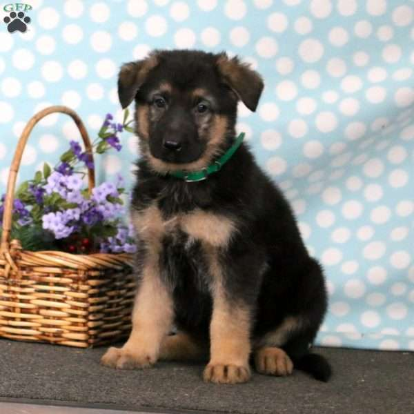 Chase, German Shepherd Puppy