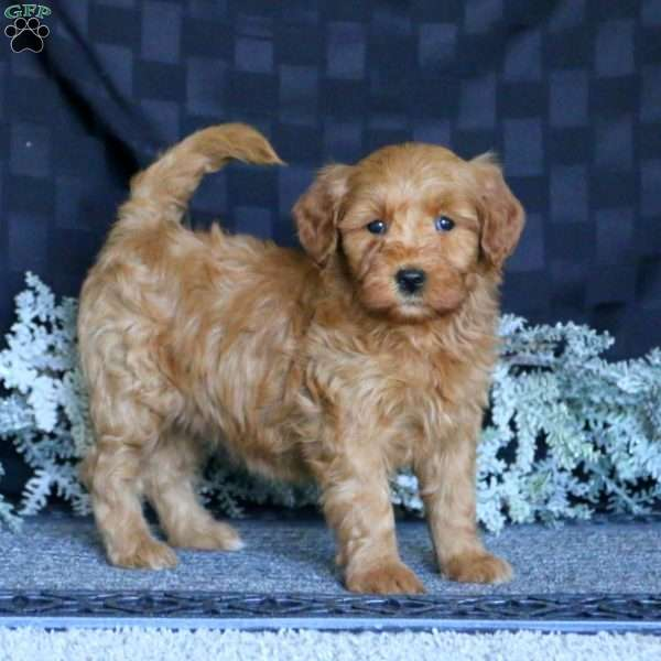 Chelsie, Mini Goldendoodle Puppy